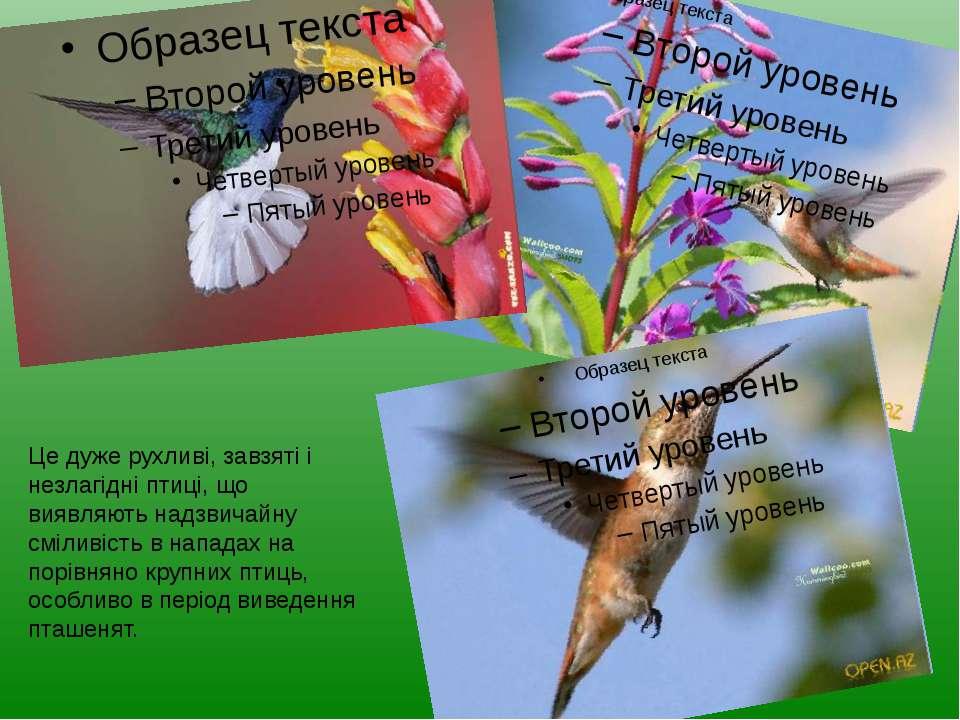 Це дуже рухливі, завзяті і незлагідні птиці, що виявляють надзвичайну сміливі...