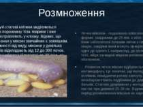 Розмноження Яєчка міксини - подовжено-еліпсоподібної форми, завдовжки до 25 м...
