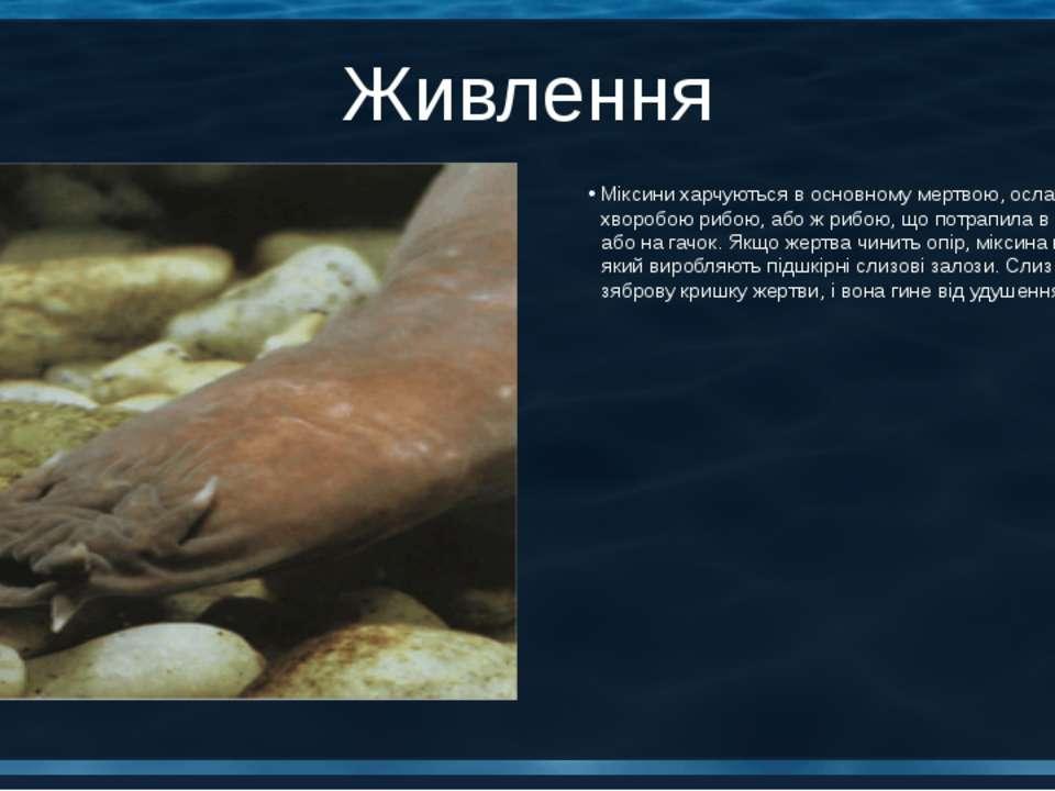 Живлення Міксини харчуються в основному мертвою, ослабленою хворобою рибою, а...