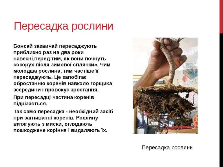 Пересадка рослини Бонсай зазвичай пересаджують приблизно раз на два роки наве...