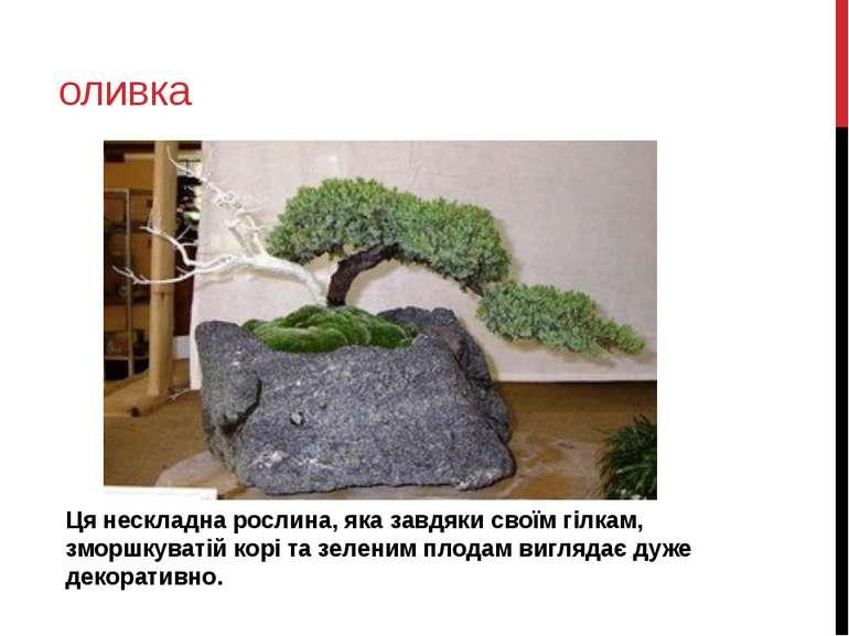 оливка Ця нескладна рослина, яка завдяки своїм гілкам, зморшкуватій корі та з...