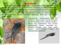 Цікаві факти Серпокрилець є рекодсменом серед птахів за швидкістю в горизонта...