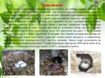 Розмноження До місць гніздування серпокрильці прилітають на початку травня. М...