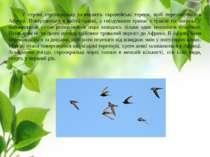 У серпні серпокрильці залишають європейські терени, щоб перезимувати в Африці...