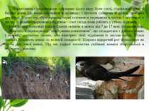 Первинними середовищами існування цього виду були скелі, стрімчаки, урвисті б...
