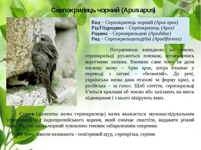 Серпокрилець чорний (Apus apus) Стриж(діалектна назва серпокрилець) назва вв...