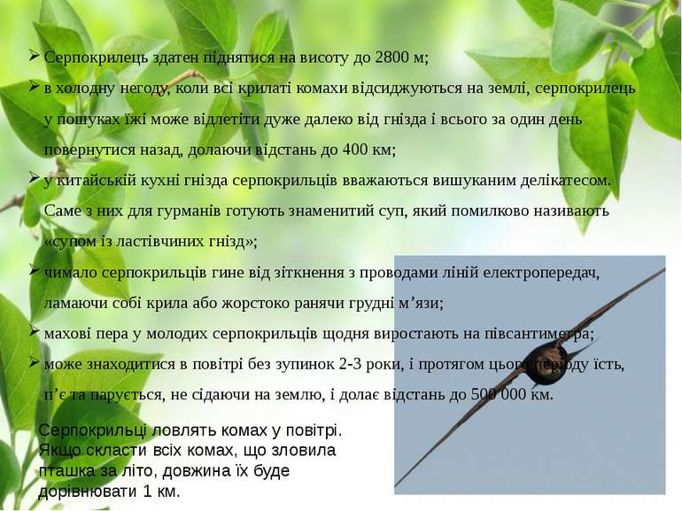 Серпокрилець здатен піднятися на висоту до 2800 м; в холодну негоду, коли всі...