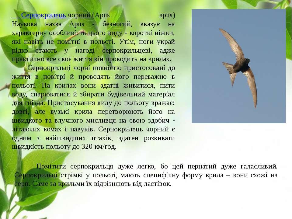 Серпокрилець чорний(Apus apus) Наукова назва Apus - безногий, вказує на хара...