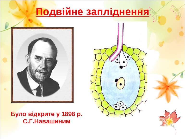 Подвійне запліднення Було відкрите у 1898 р. С.Г.Навашиним