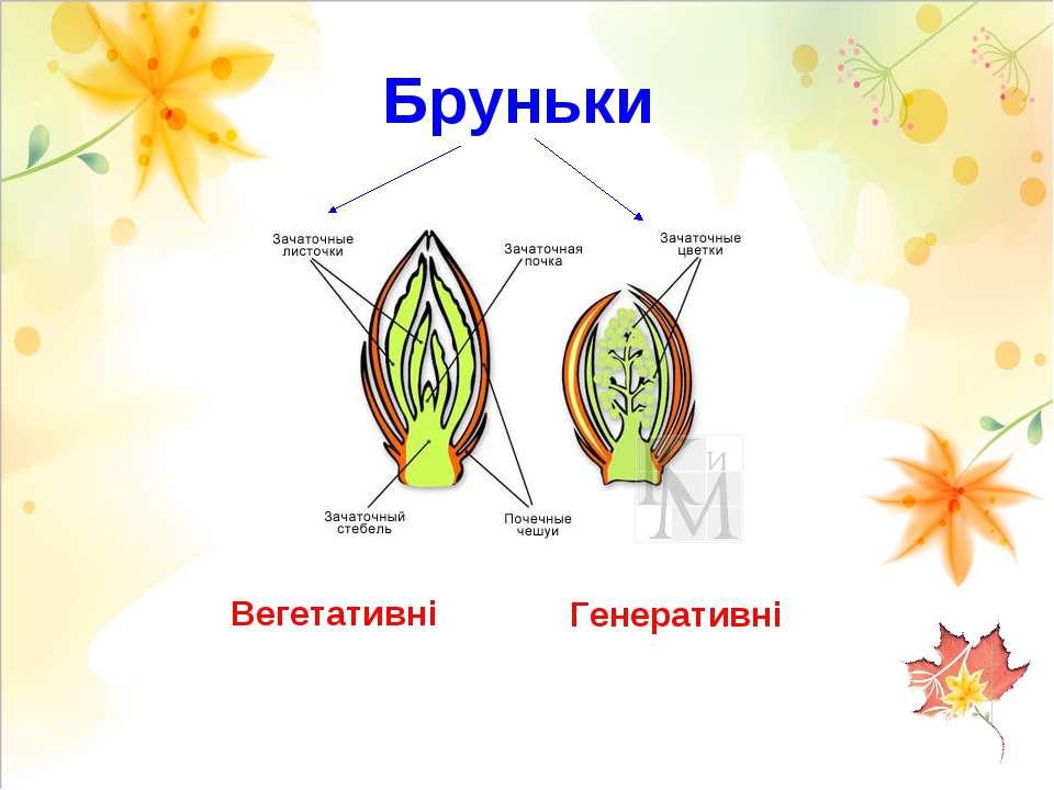 Бруньки Вегетативні Генеративні