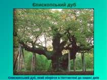 Єпископський дуб Єпископський дуб, який зберігся в Ноттингемі до наших днів