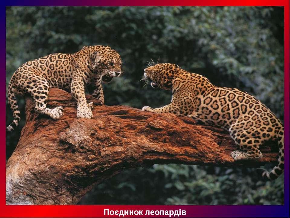 Поєдинок леопардів