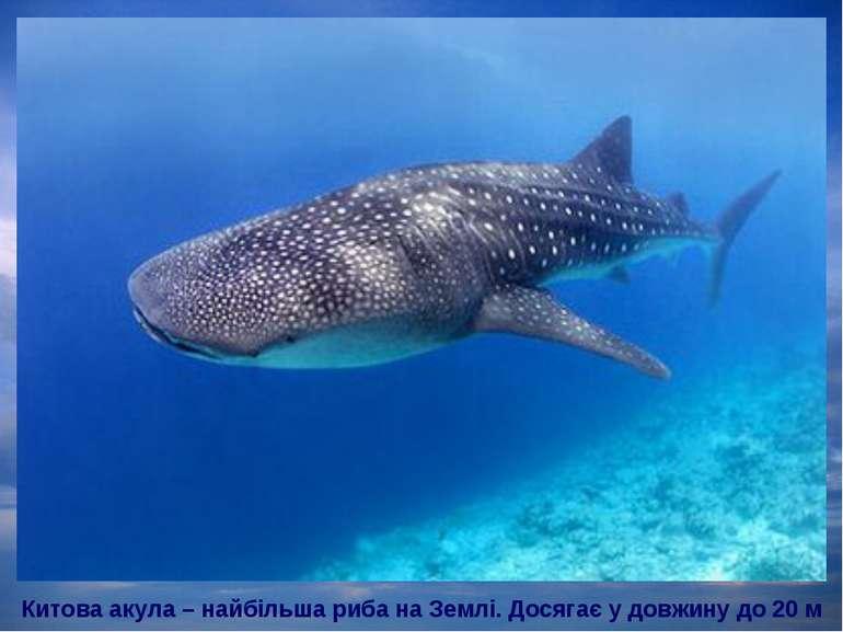 Китова акула – найбільша риба на Землі. Досягає у довжину до 20 м