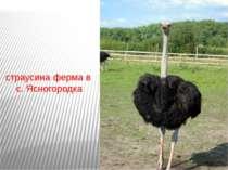 страусина ферма в с. Ясногородка