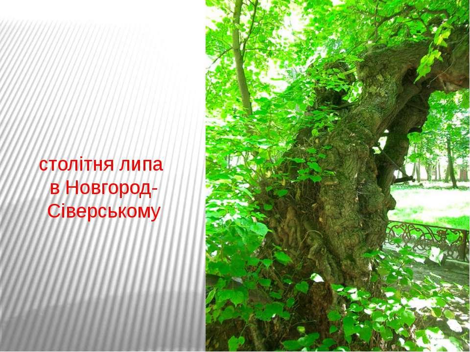 столітня липа в Новгород-Сіверському