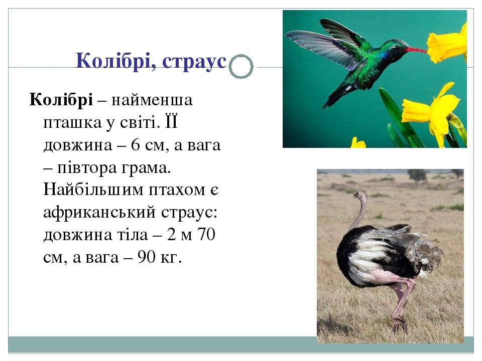 Колібрі, страус Колібрі – найменша пташка у світі. ЇЇ довжина – 6 см, а вага ...