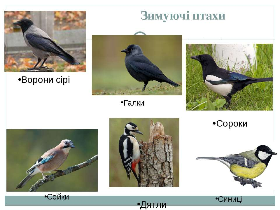 Зимуючі птахи Дятли Сороки Ворони сірі Галки Сойки Синиці