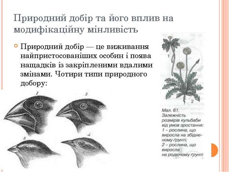 Природний добір та його вплив на модифікаційну мінливість Природний добір — ц...