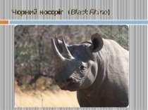 Чорний носоріг (Black Rhino)