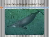 Китайський річковий (озерний) дельфін(Baiji Dolphin)