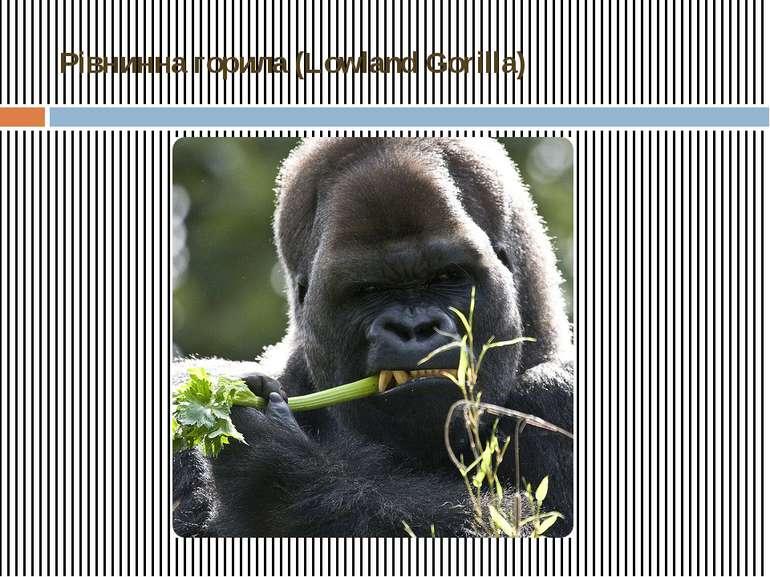 Рівнинна горила (Lowland Gorilla)