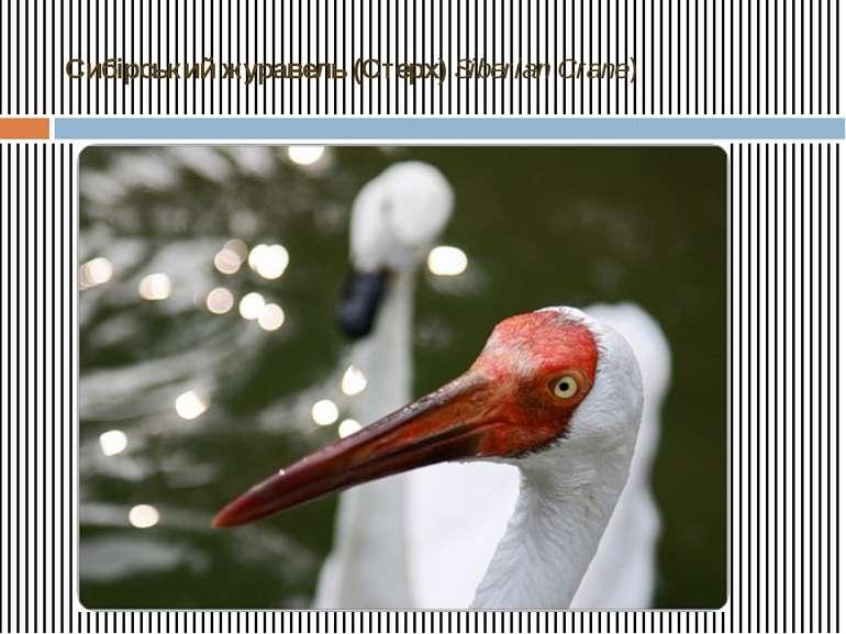 Сибірський журавель (Стерх) Siberian Crane)