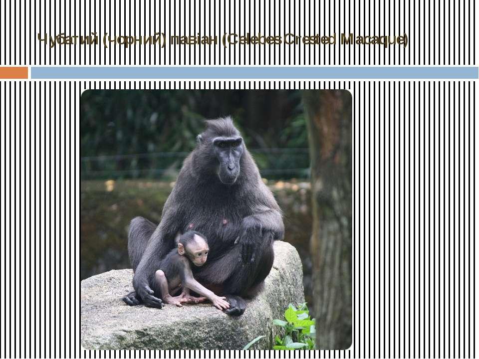 Чубатий (чорний) павіан (Celebes Crested Macaque)