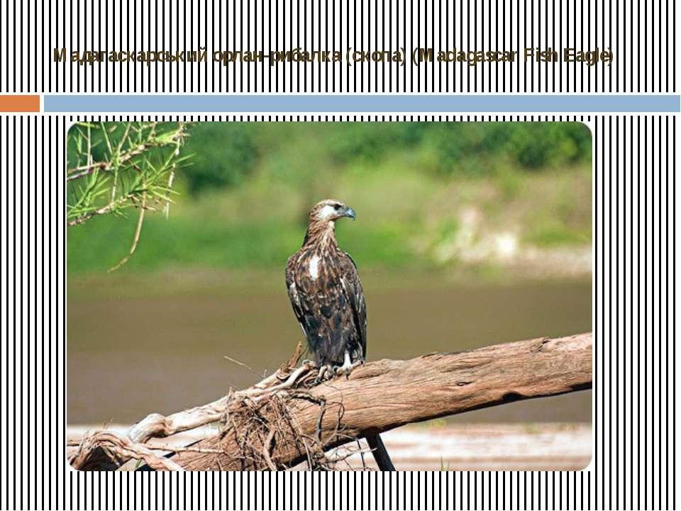 Мадагаскарський орлан-рибалка (скопа) (Madagascar Fish Eagle)