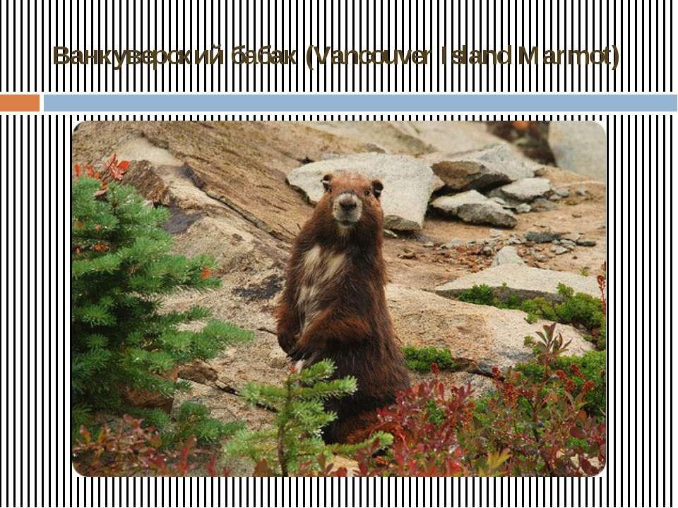 Ванкуверский бабак (Vancouver Island Marmot)