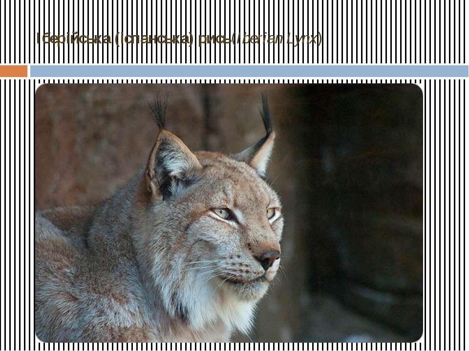 Іберійська (іспанська) рись(Iberian Lynx)