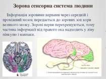 Інформація зоровими нервами через середній і проміжний мозок передається до з...