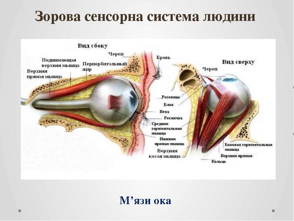 Зорова сенсорна система людини М'язи ока