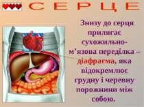 Знизу до серця прилягає сухожильно-м'язова переділка – діафрагма, яка відокре...