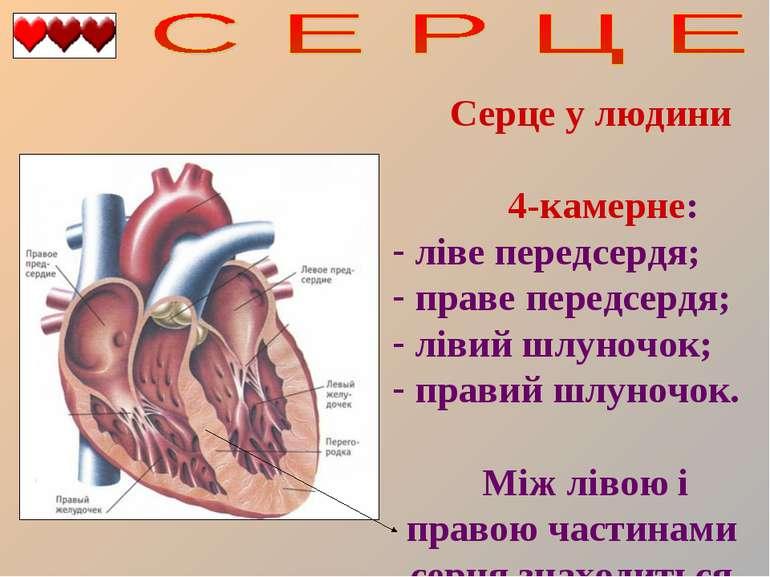 Серце у людини 4-камерне: ліве передсердя; праве передсердя; лівий шлуночок; ...
