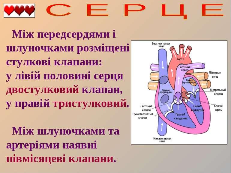 Між передсердями і шлуночками розміщені стулкові клапани: у лівій половині се...