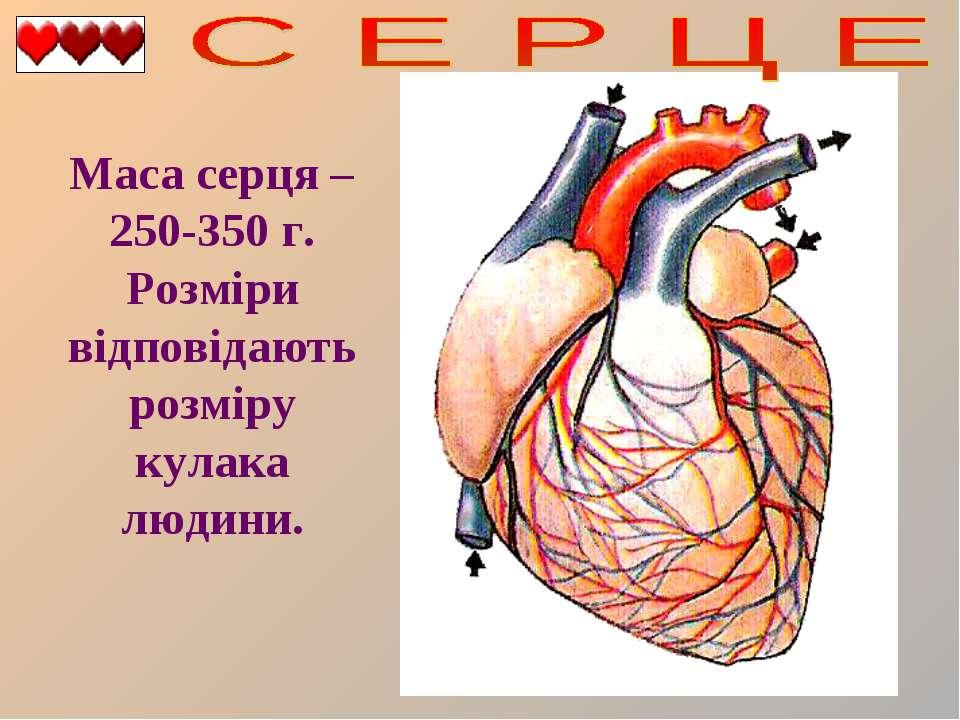 Маса серця – 250-350 г. Розміри відповідають розміру кулака людини.