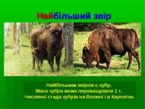 Найбільший звір Найбільшим звіром є зубр. Маса зубра може перевищувати 1 т. Ч...