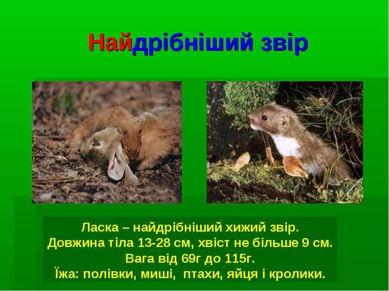Найдрібніший звір Ласка – найдрібніший хижий звір. Довжина тіла 13-28 см, хві...