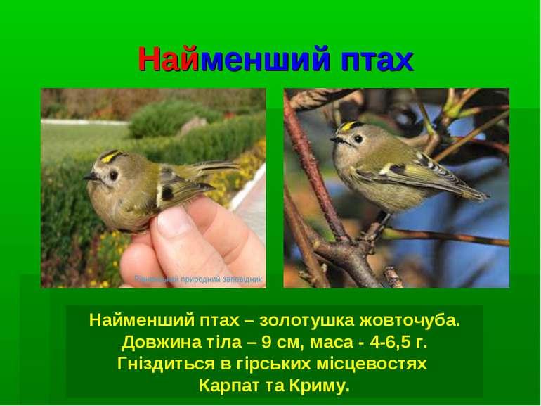 Найменший птах Найменший птах – золотушка жовточуба. Довжина тіла – 9 см, мас...