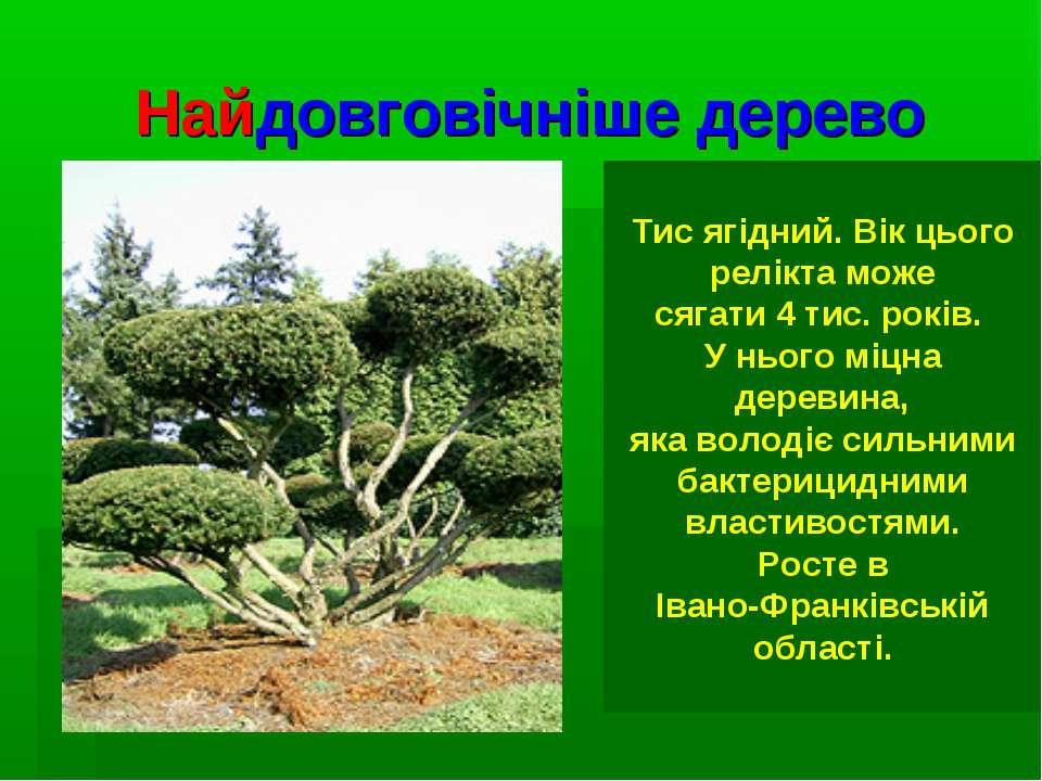 Найдовговічніше дерево Тис ягідний. Вік цього релікта може сягати 4 тис. рокі...