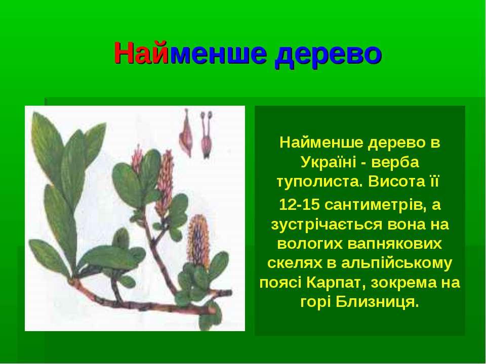 Найменше дерево Найменше дерево в Україні - верба туполиста. Висота її 12-15 ...