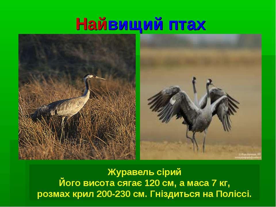 Найвищий птах Журавель сірий Його висота сягає 120 см, а маса 7 кг, розмах кр...