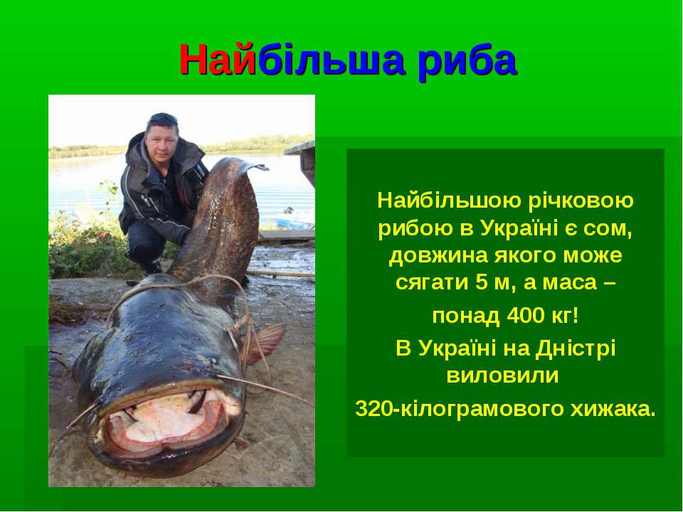 Найбільша риба Найбільшою річковою рибою в Україні є сом, довжина якого може ...