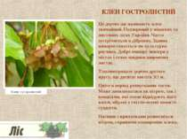 КЛЕН ГОСТРОЛИСТИЙ Це дерево ще називають клен звичайний. Поширений у мішаних ...