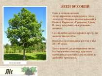ЯСЕН ВИСОКИЙ Одне з найважливіших лісоутворюючих видів дерев у лісах лісостеп...