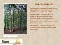 БУК ЗВИЧАЙНИЙ Головне лісоутворююче дерево Карпат і Криму. В Карпатах росте н...
