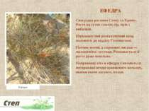 ЕФЕДРА Своєрідна рослина Степу та Криму. Росте на сухих схилах гір, ярів і ви...