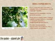 ЛИПА СЕРЦЕЛИСТА Росте в другому ярусі листяних та мішаних лісів, по чагарника...