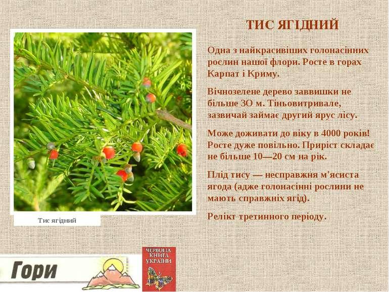 ТИС ЯГІДНИЙ Одна з найкрасивіших голонасінних рослин нашої флори. Росте в гор...