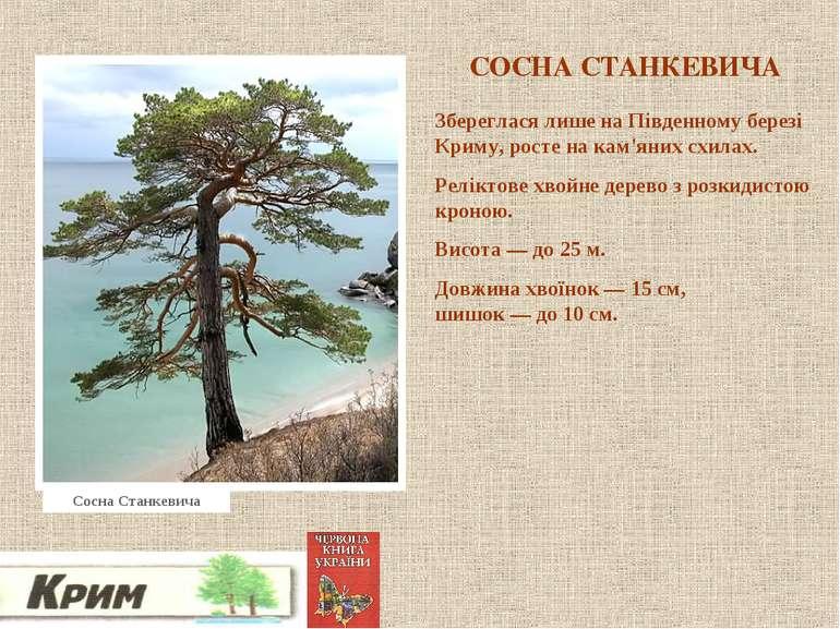 СОСНА СТАНКЕВИЧА Збереглася лише на Південному березі Криму, росте на кам'яни...